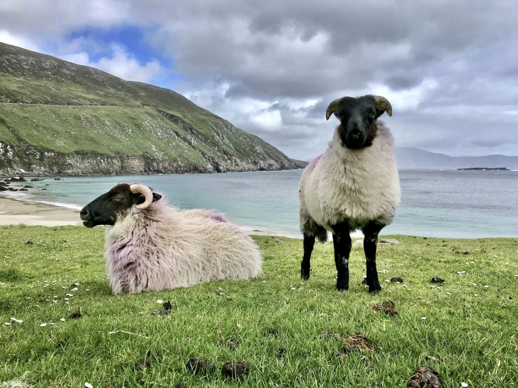 Irsko_ovce